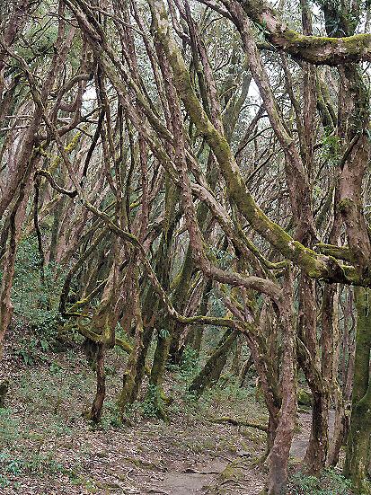 アルボレウム・シャクナゲの林下