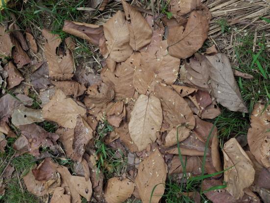 サラノキの落ち葉