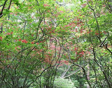 山躑躅の林