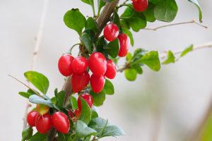 クコの果実