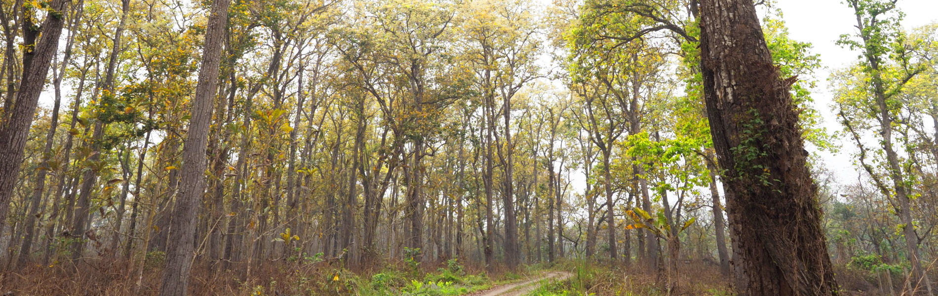 サラノキの森