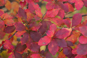 アブラツツジの紅葉